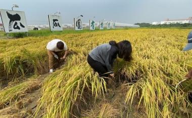 2020太康農場榖東會割稻飯